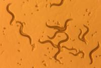 паразиты находящиеся организме человека