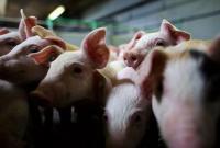 АЧС: Россия запретила ввоз украинской свинины